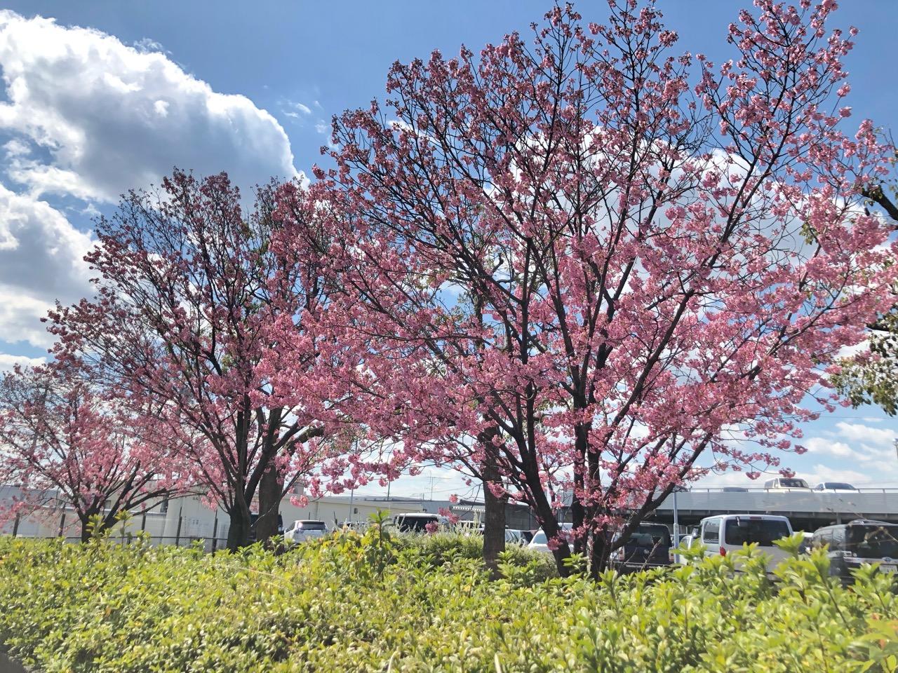 トヨタ自動車付近の桜