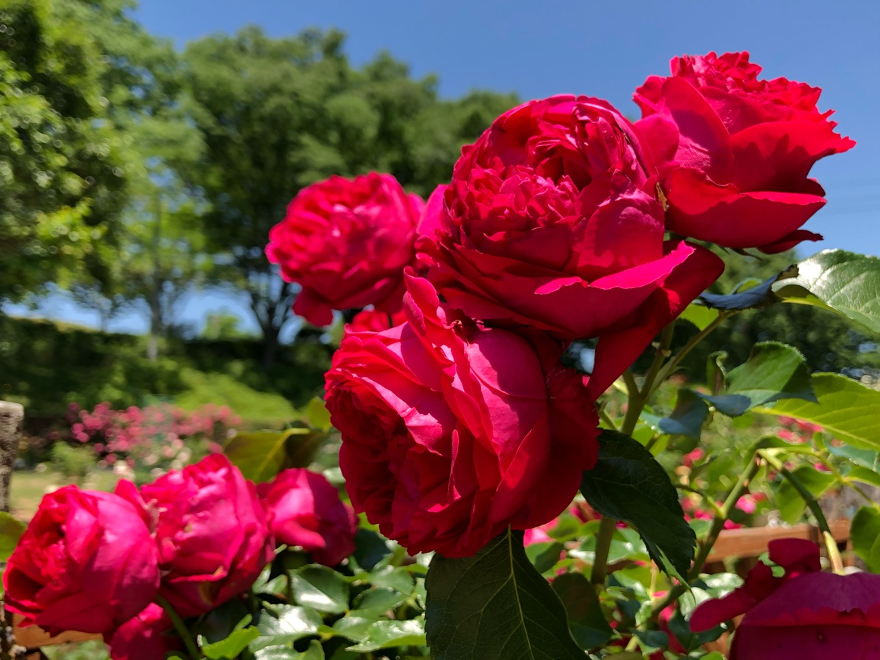 西山公園のバラ